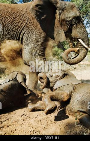 Elefante Africano Loxodonta africana joven calfs interactuando y polvo bañarse Sudáfrica Dist el África Subsahariana Foto de stock