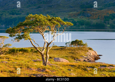 Pino Pinus sylvestris junto Loch Maree Wester Ross Escocia