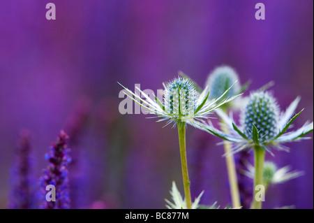 Eryngium x zabelii Eijking 'Jos' Mar holly plantados con plantas de salvia violeta en RHS Harlow Carr