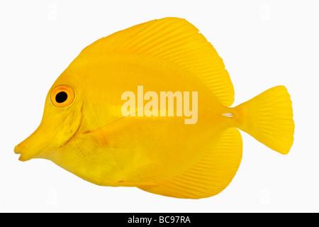 Peces tang amarillo Zebrasoma flavescens, también conocido como Amarillo Tang Tang Sailfin hawaiano amarillo o amarillo herbívoros Pez Cirujano