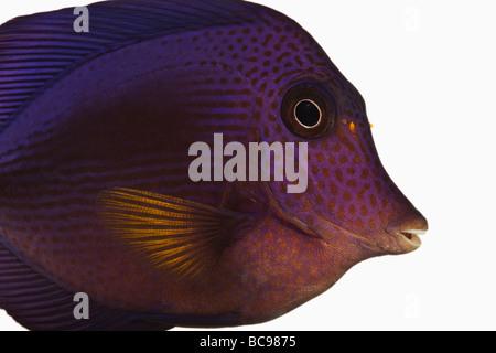Tang Zebrasoma xanthurum púrpura peces marinos peces de arrecife, también conocido como la perca plateada Tang Sailfin Dist Mar Rojo Mar Arábigo