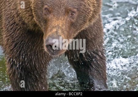 Cerca de Grizzly Bear, Ursus arctos horriblis, Brooks River, Parque Nacional Katmai, Alaska, EE.UU.