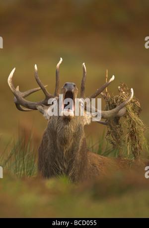 Ciervo rojo (Cervus elaphus) stag rugiendo durante la rutina otoñal. Bradgate Park. Leicestershire. UK Foto de stock