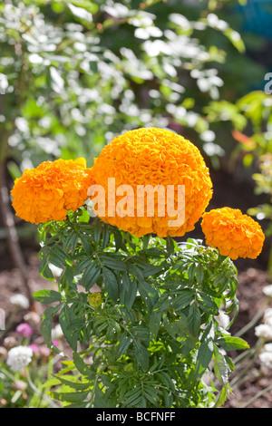 Marigold (Tagetes patula)