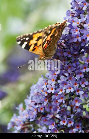 Vanessa cardui. Painted Lady butterfly alimentándose de buddleja en un jardín inglés Foto de stock