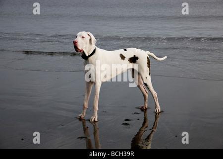 Great Dane Harlequin blanco macho de dos años sobre la playa. Foto de stock