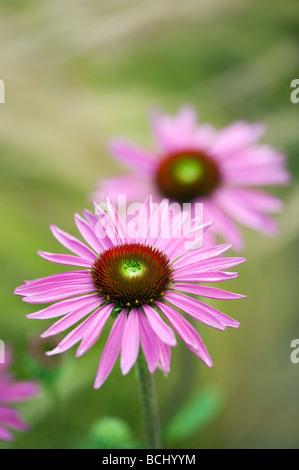 "Echinacea purpurea 'Rubinglow'. ""Rubinglow coneflower púrpura' Foto de stock"