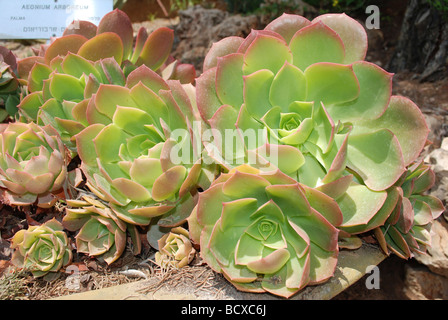 El árbol Aeonium Aeonium arboreum un suculento subtropical del género Aeonium en la familia de las crasuláceas