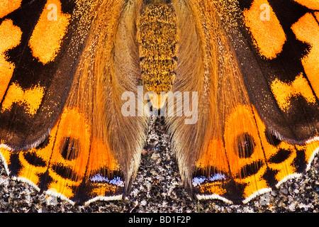 Painted Lady Vanessa cardui mariposas