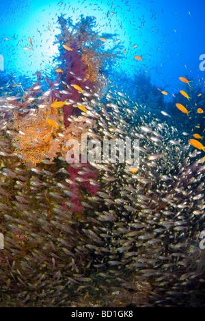 Escuela de peces de vidrio alrededor de ricos coloridos corales blandos. Safaga, Mar Rojo Foto de stock