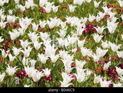 Lecho de flores de tulipanes blancos y rojos prímulas Foto de stock