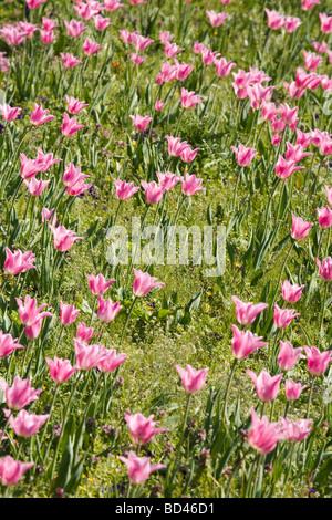 Tulipanes rosa en un jardín de flores cama Foto de stock