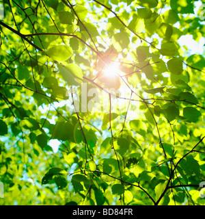 Sun glinting mediante hojas de hayas en primavera. ( Fagus sylvatica ) - photsynthesis naturaleza de fondo.