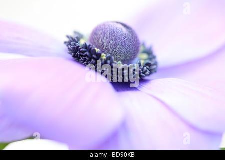 Suave y romántico anémona púrpura cabeza floral en blanco fotografía artística Jane Ann Butler Fotografía JABP530 Foto de stock