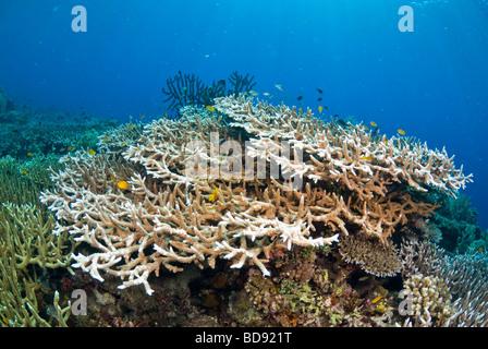 Jardines de coral de Filipinas, Cabilao, Filipinas