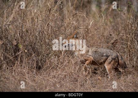 Chacal ( Canis aureus ) en la Reserva de Tigres de Pench, India.