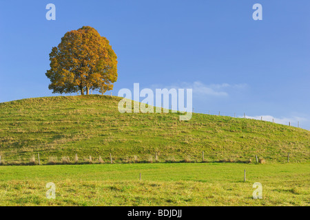 En el Lime Tree Lone Hill