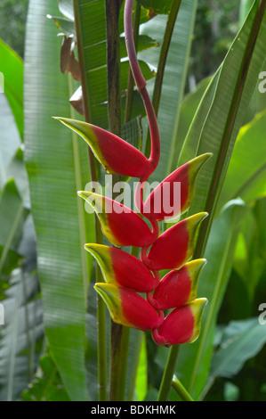 Heliconia colgantes, langosta claw heliconia (Heliconia rostrata) Foto de stock