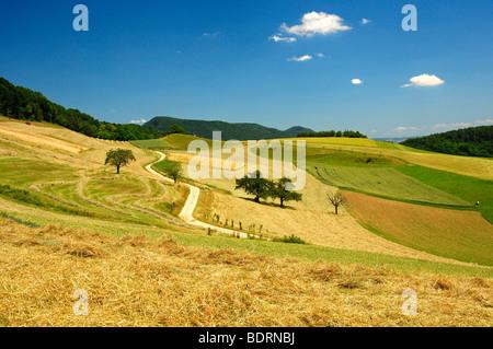 Paisaje ondulado con campos de maíz en la Meseta Central Suizo en un cálido día de verano, cantón de Aargau, Suiza Foto de stock