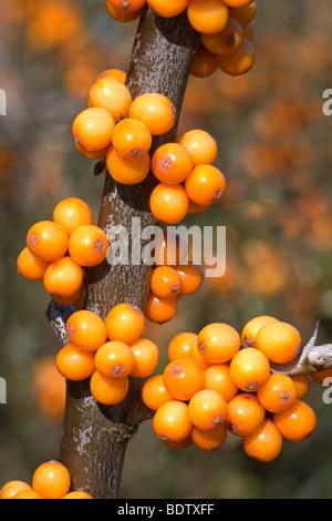 Sanddorn Gemeiner / Mar Buckthorn / Hippophae rhamnoides