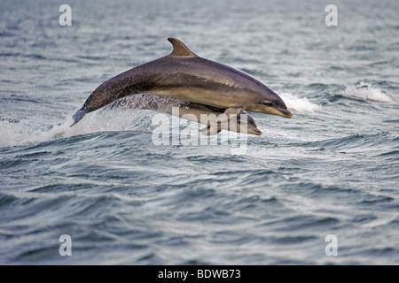 Delfín mular Tursiops truncatus madre y quebrantar la pantorrilla. Moray, Escocia. Foto de stock