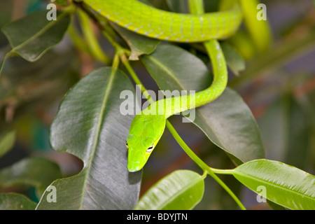 Serpiente látigo orientales, Ahaetulla prasina