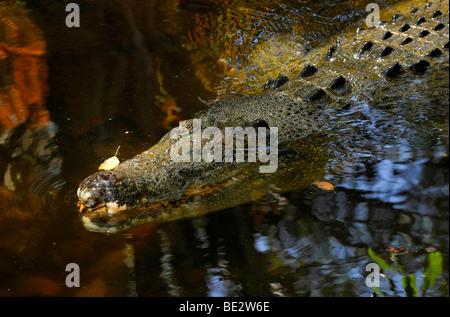 Estuarinos, el cocodrilo de agua salada (Crocodylus porosus), Queensland, Australia