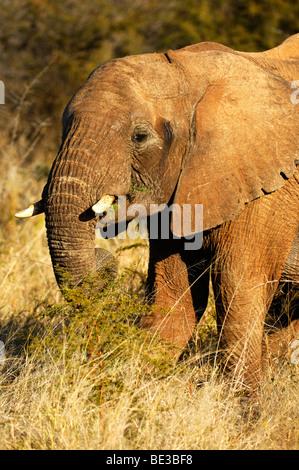 Elefante africano (Loxodonta africana), alimentándose de una espina verde, Bush Madikwe Game Reserve, Sudáfrica, África