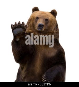 Acoge con beneplácito el oso pardo, las ondas de una pata. Se encuentra aislado en un fondo blanco.
