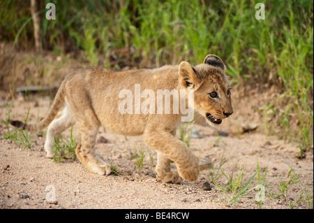 Cachorro de león (Panthero leo), el Parque Nacional Kruger, Sudáfrica