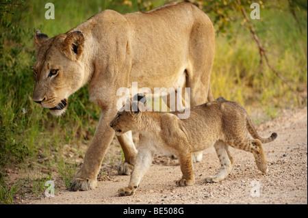 Con cub Panthero León (LEO), el Parque Nacional Kruger, Sudáfrica