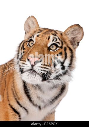 Close-up retrato de tigre de Bengala, Panthera tigris tigris, 1 año de edad, delante de un fondo blanco, Foto de estudio