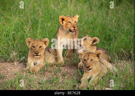 Cachorros de León (Panthero leo), el Parque Nacional Kruger, Sudáfrica