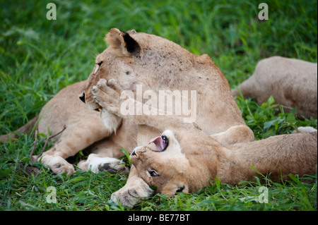 León Panthero jugando con cub (LEO), el Parque Nacional Kruger, Sudáfrica
