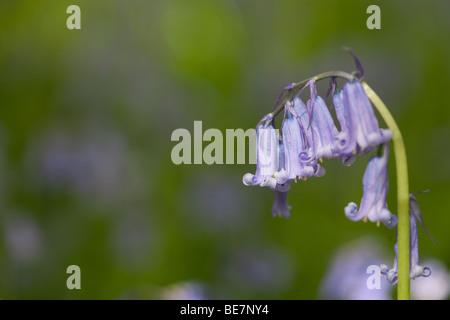 Bluebell en Sussex woodland