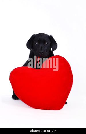 Cachorro Labrador Retriever negro con corazón rojo sobre el fondo blanco.
