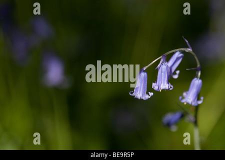 Las campánulas azules en Sussex woodland