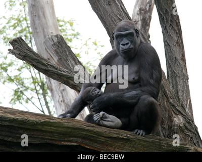 Hembra de gorila de las tierras bajas occidentales abrazos de bebé