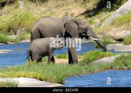 Bush Elefante africano (Loxodonta africana), la pantorrilla el cochinillo, la Reserva Natural de Masai Mara, Kenia, Foto de stock
