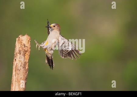 De fachada dorada Woodpecker (Melanerpes aurifrons), hembra de aterrizaje, Sinton, Coastal Bend, Corpus Christi, Texas, EE.UU.