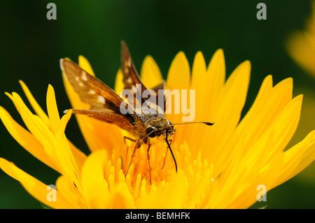 Fiery Saw-Leaf Skipper alimentándose de una flor de margarita
