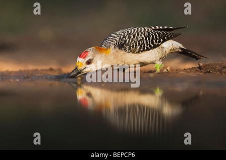 De fachada dorada Woodpecker (Melanerpes aurifrons), macho beber, Valle de Río Grande, Texas, EE.UU.