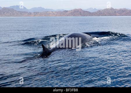 Rorcual común, ballena Finback, Rorqual común (Balaenoptera physalus) nadando en la superficie.
