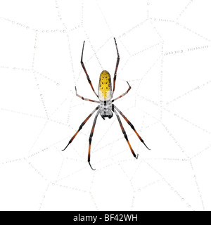 Golden Orb en la araña de tela de araña, inaurata Nephila madagascariensis, contra el fondo blanco.