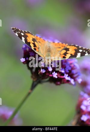 Painted Lady mariposa sobre flor Verbena violeta Foto de stock