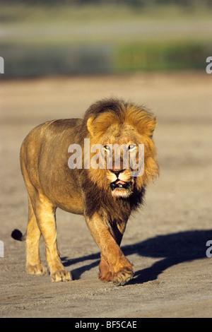 León Africano (Panthera leo), macho, el Serengueti, Tanzania, África Oriental