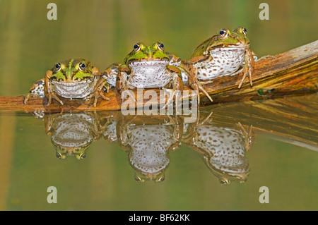 Ranas comestibles (Rana esculenta), adultos en registro, Suiza, Europa