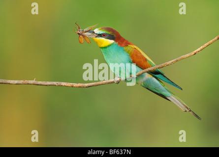 (Merops apiaster), adultos con cockchafer (Melolontha melolontha) presa, Hungría, Europa