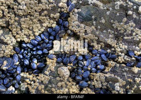 Azul Mejillones, percebes y lapas expuestos sobre una roca en la playa en la bahía Balnakeil, Durness, Escocia