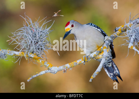 De fachada dorada woodpecker (Melanerpes aurifrons) posado en una rama en el Valle del Río Grande en Texas, EE.UU.